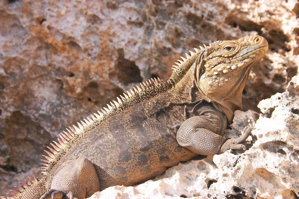 Iguana_at_the_Iguanas_island_near_Cayo_Largo_shot_01