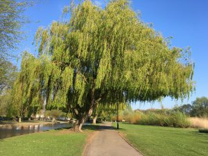 Bedford Embankment Willow